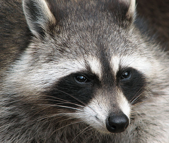 Raccoon- Short Story by Edward O'Connor