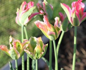 Virichic tulips