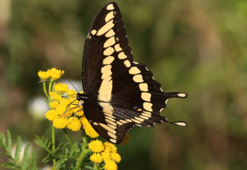 Giant Swallowtail on the Leslie Street Spit.
