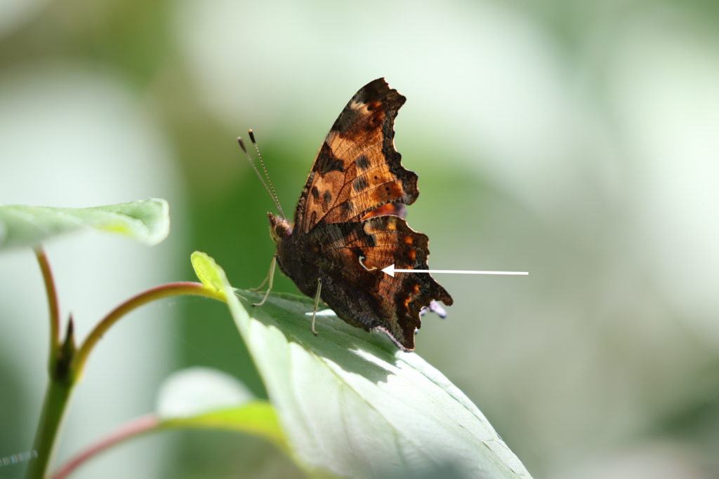 Photo of an Eastern Comma, showing the comma.