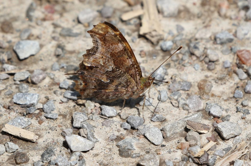 An eastern Comma resting on a roadway.