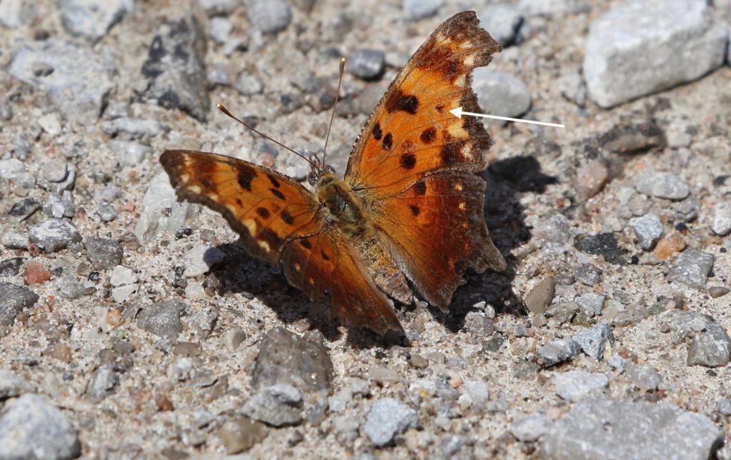 Gray Comma with open wings.
