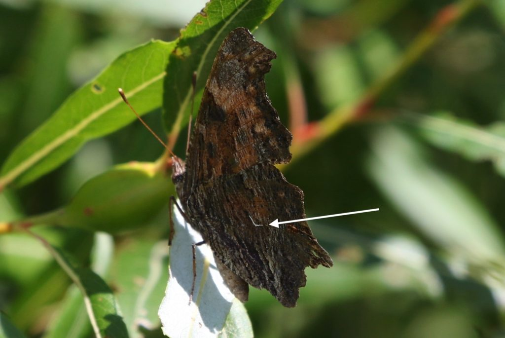Gray Comma with closed wings.
