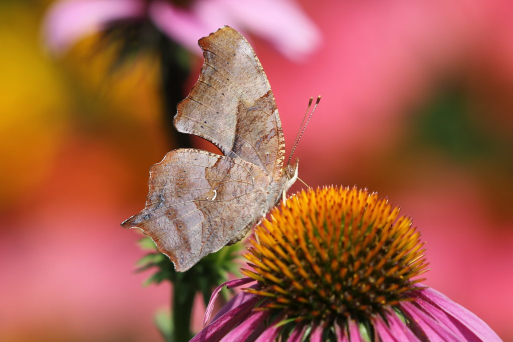 Photo of a Question Mark butterfly.