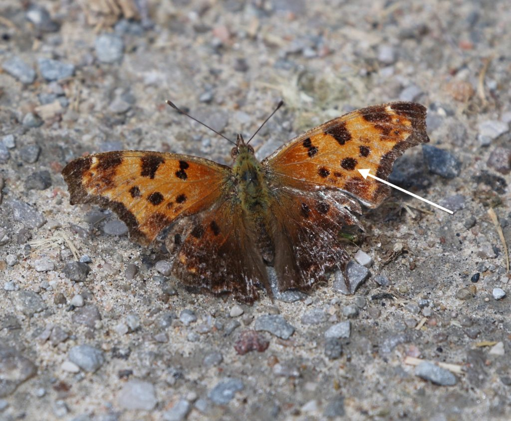 Eastern Comma resting on a road with wings open.