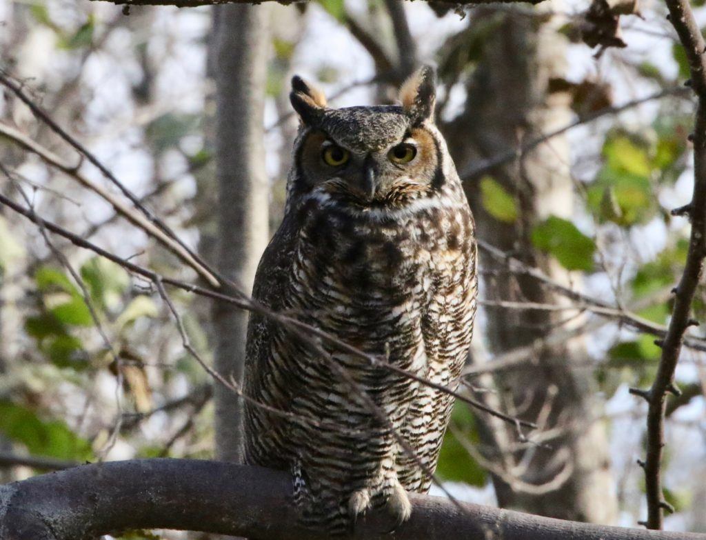 """Great Horned Owl photo for """"Two Owls"""" post."""