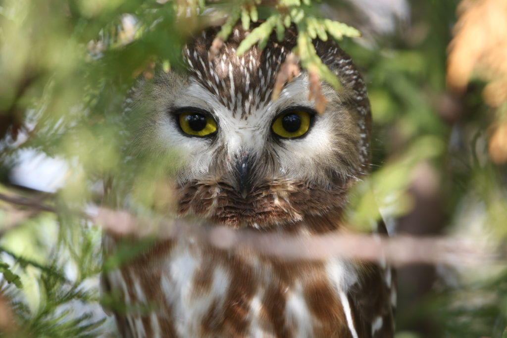 """Close-up shot of a Saw-whet Owl for the """"Two Owls"""" post."""