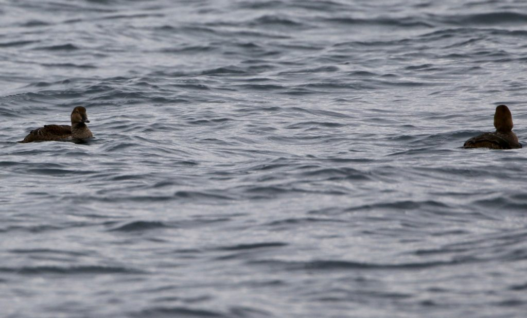 A photo of distant King Eiders.
