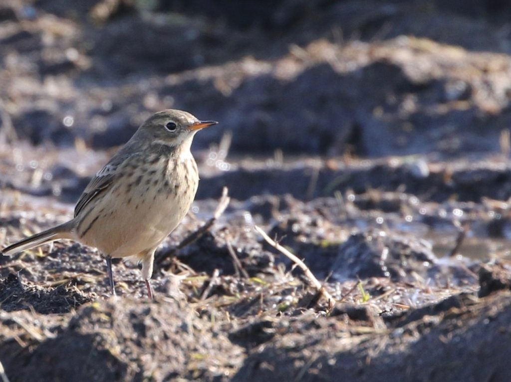 Photo of an American Pipit.