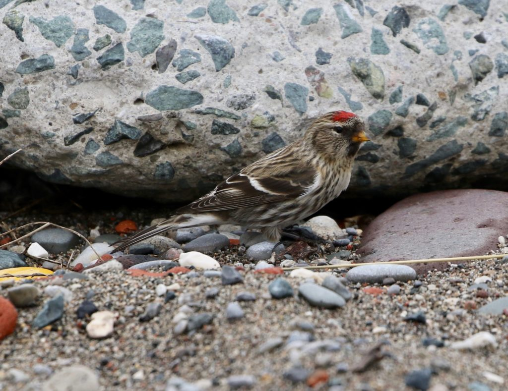 A side view of a Common Redpoll.