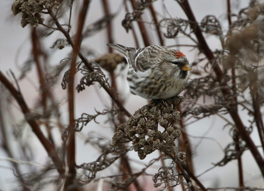 A frontal shot of a Common Redpoll.