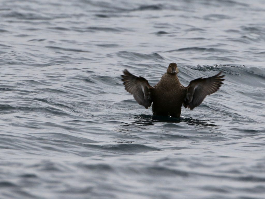 King Eider flapping its wings.