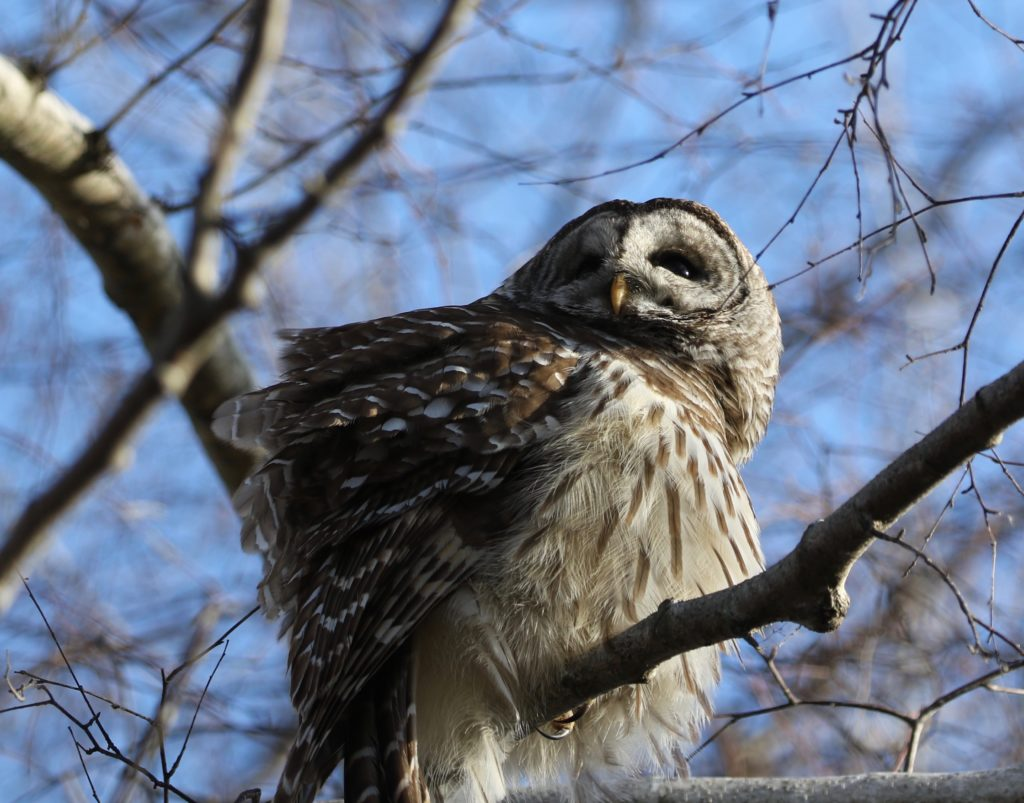 Barred Owl with ruffled feathers.