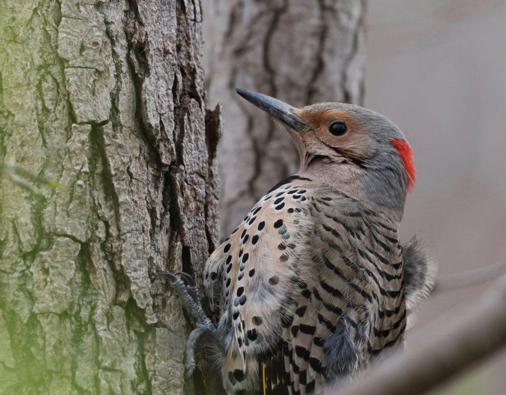 A female Northern Flicker, closeup.