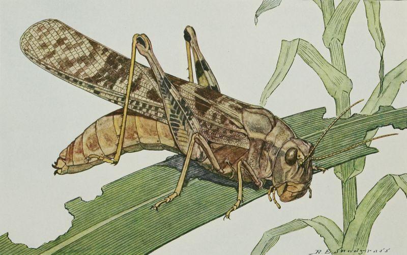 Drawing of a Carolina Grasshopper by R. E. Snodgrass.