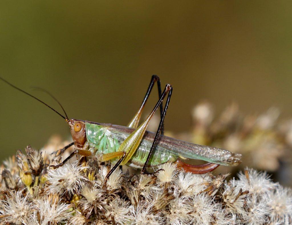 Final image of the Black-legged Meadow Katydid.