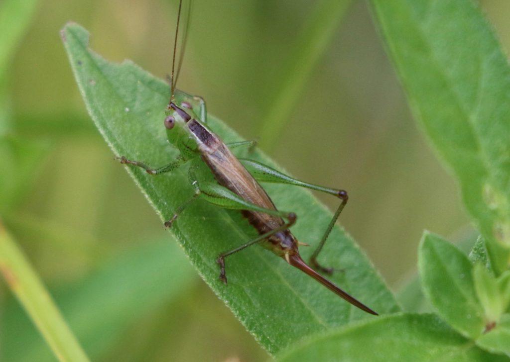 Photo of a Short-winged Meadow Katydid.
