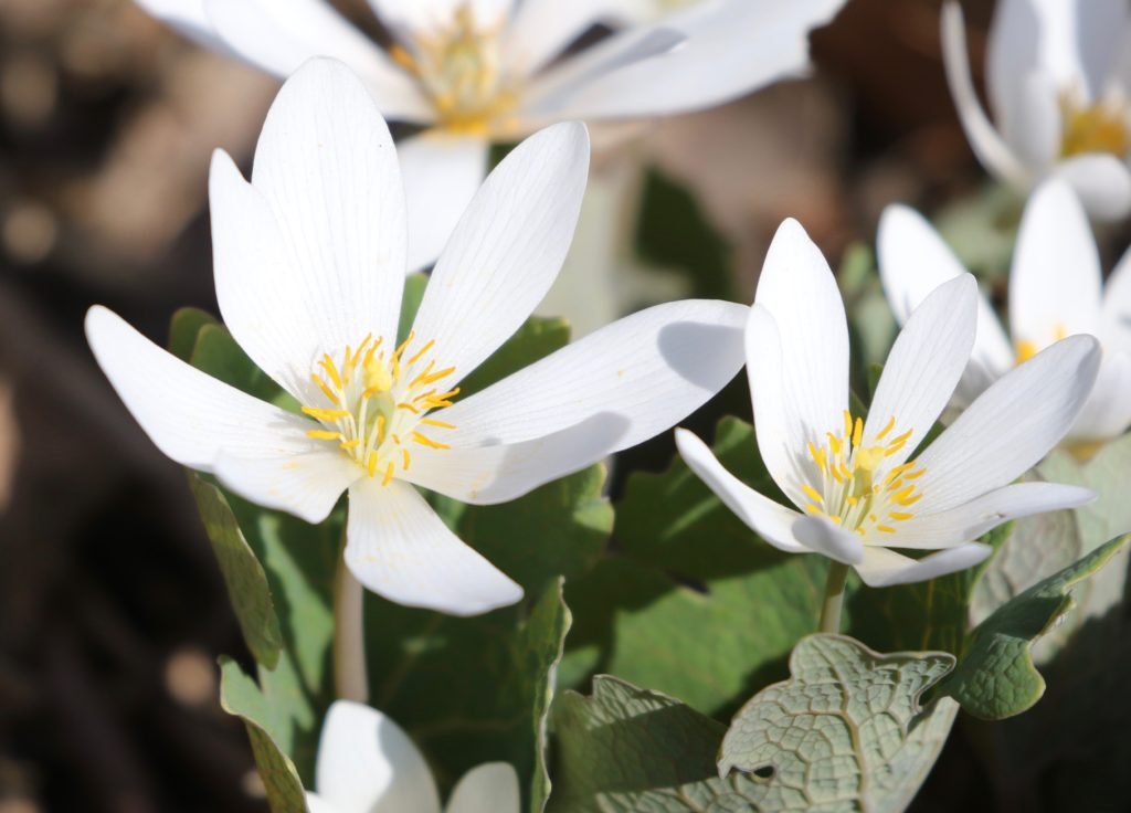 Final Bloodroot image for the Bloodroot post.
