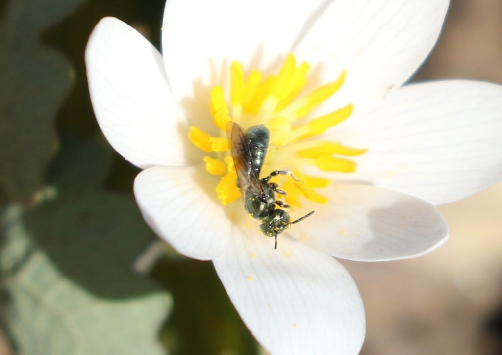 Photo of a Carpenter Bee on a Bloodroot flower.