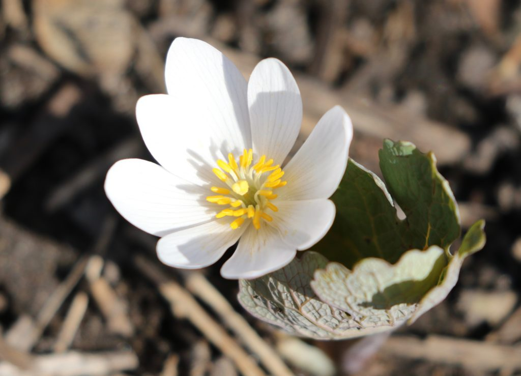 Photo of single Bloodroot flower for Bloodroot post.