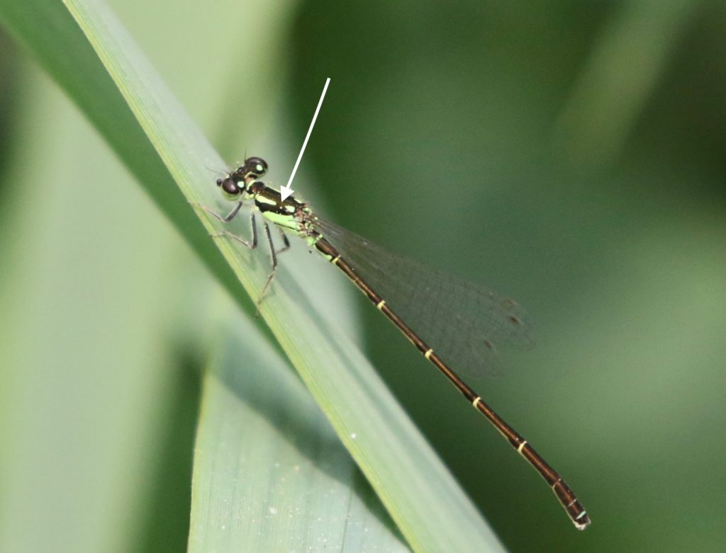 Photo of a Fragile Forktail with an arrow pointing to the broken stripe on top of the thorax.