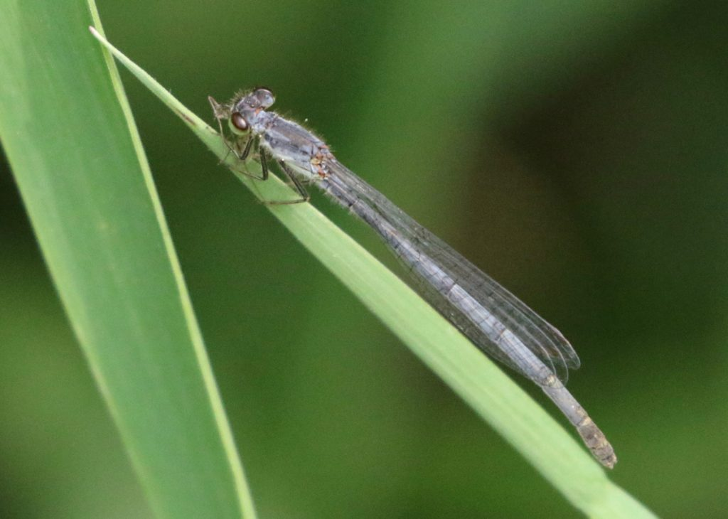Photo of a female Fragile Forktail.