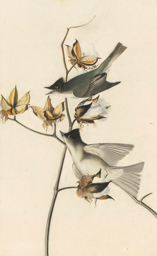 Audubon's drawing of two Easter Phoebes, Sayornis phoebe, from The Birds of America.